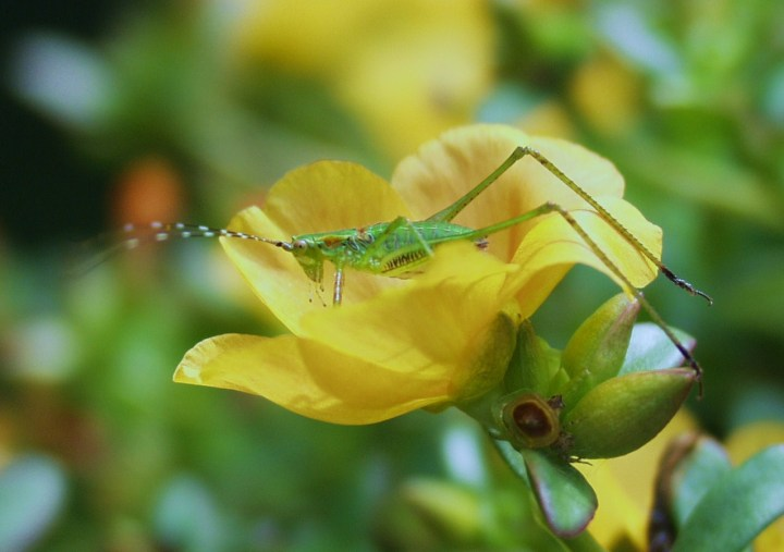 Grasshopper on purslane bloom