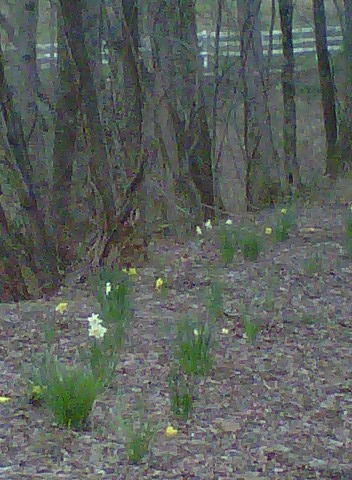 Our nearest neighbor (next door) planted the daffodils along the road.