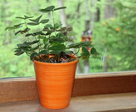 orange pot with shamrock plant