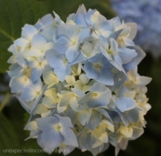 blue with white hydrangea