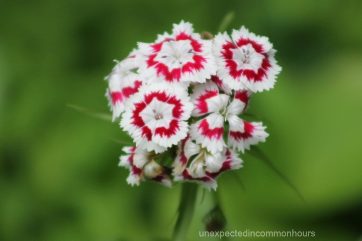 Now blooming in my corner of north georgia flowers of purple and dianthus mightylinksfo