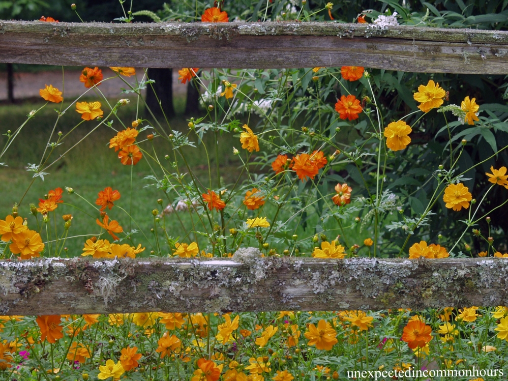 cosmos by fence