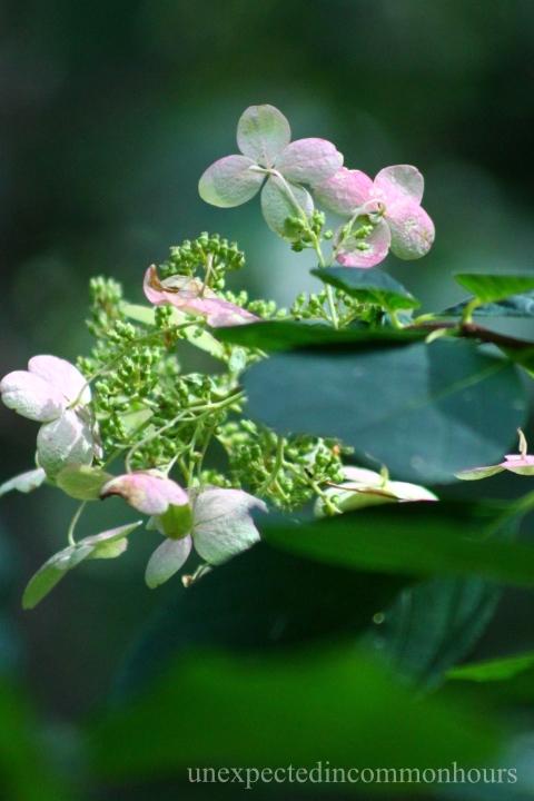 Oakleaf hydrangea turning pink