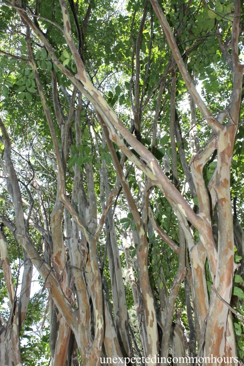 Crape myrtle trunks