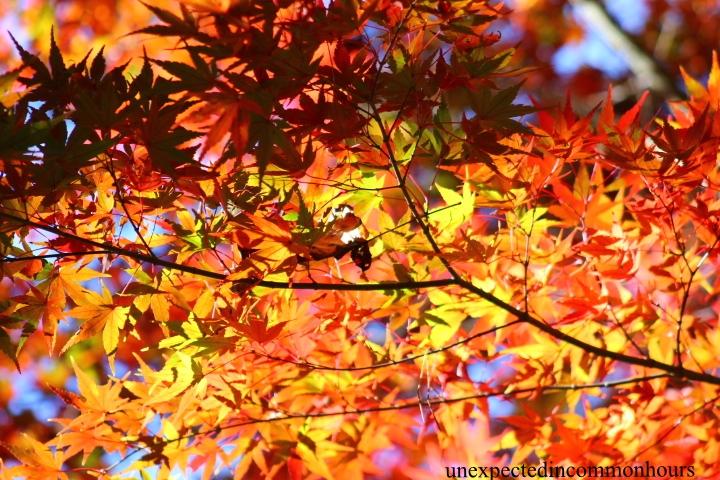 Japanese maple #2