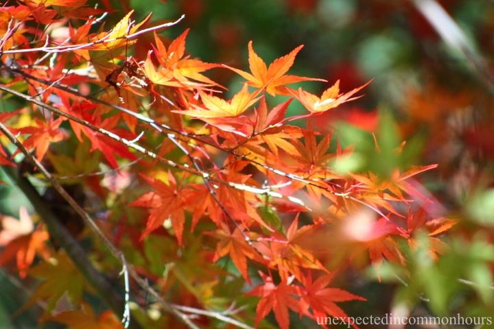Japanese maple #3