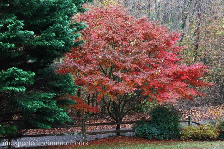 Last one standing - Japanese Maple