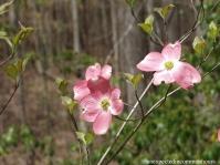 Three dogwood blossoms