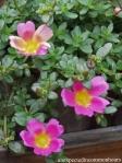 Three pink purslane