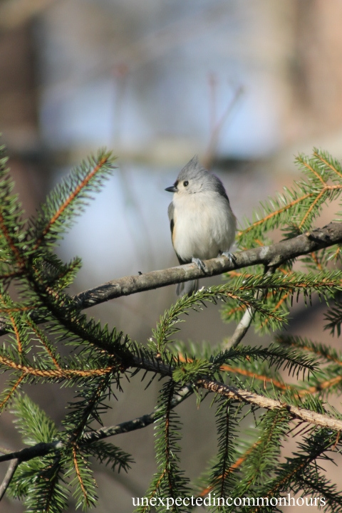 Tufted titmouse in the pine