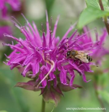 bee on bee balm #1