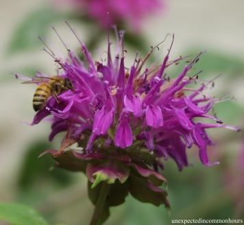bee on bee balm #2