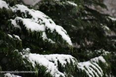 Leyland cypress in snow