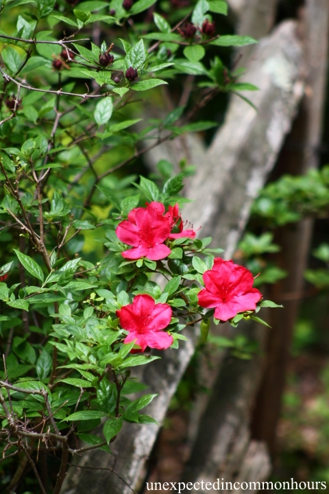 Azaleas on the fence