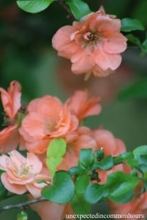 Peach-colored quince #1