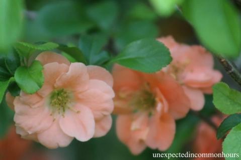 Peach-colored quince #2