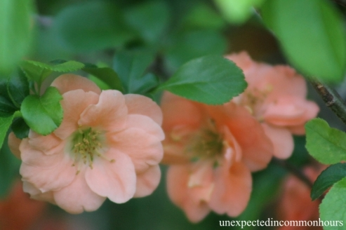 Peach-colored quince #2
