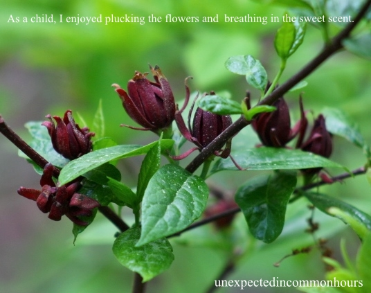 Sweetshrub #1