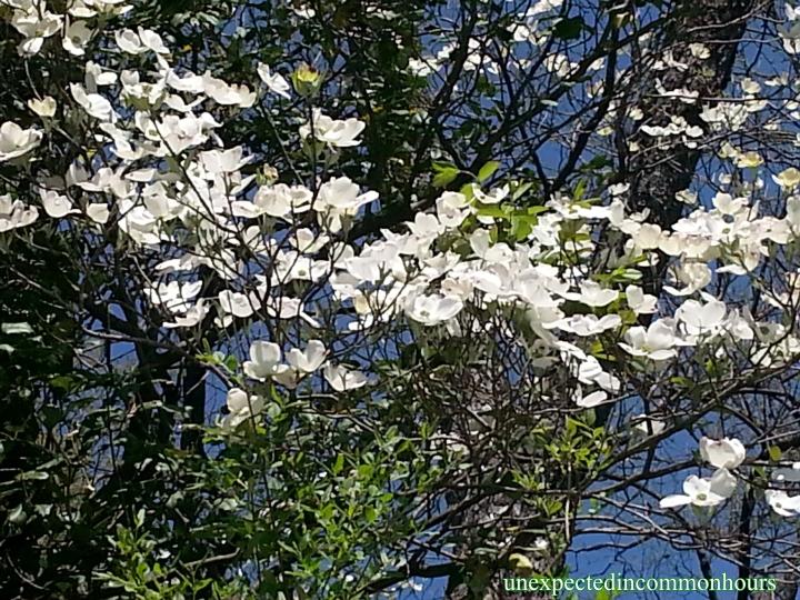 White dogwood #2