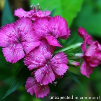 Dianthus #4