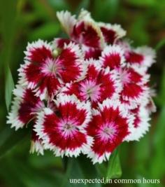 Dianthus #5