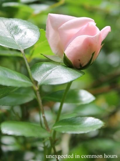 Pink rose #4