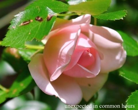 Pink rose #5