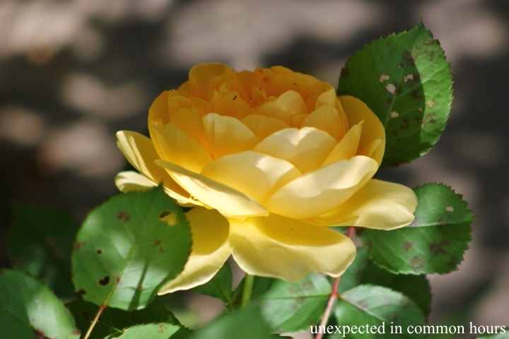 Yellow rose #3
