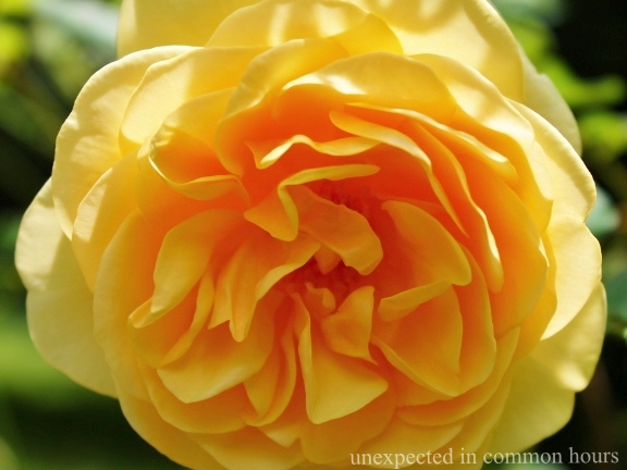 Yellow rose #4