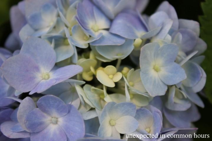 Blue hydrangea #1