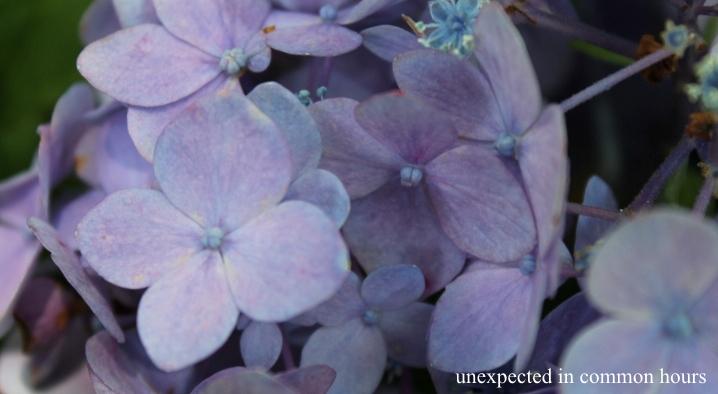 Blue hydrangea #3