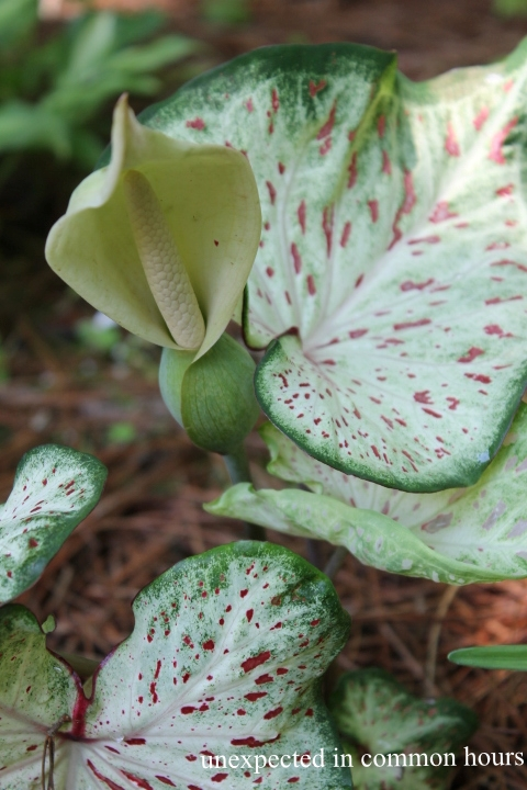 Caladium bloom