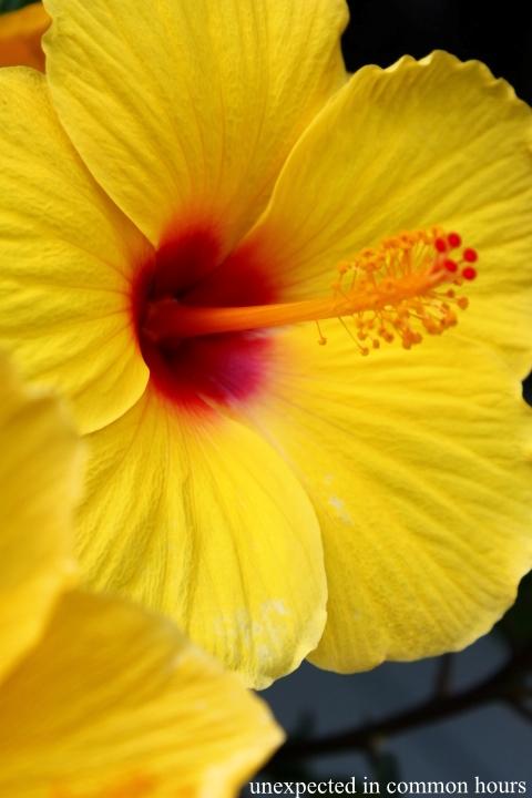 Hibiscus #2
