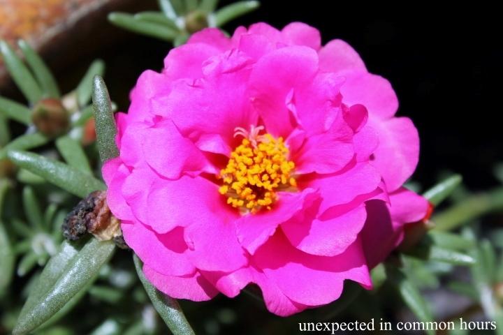 Pink moss rose