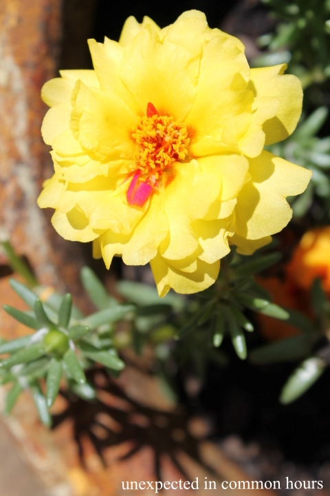 Yellow moss rose