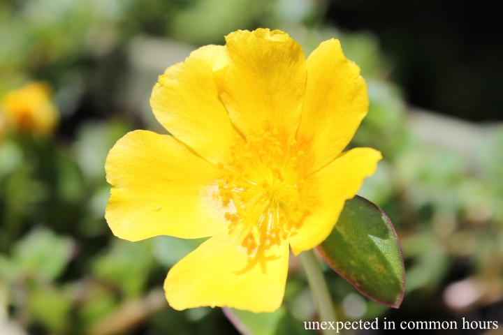 Yellow purslane