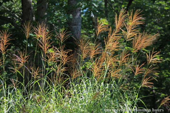 Zebra grass_