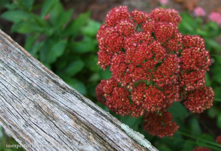 Autumn Joy sedum #1