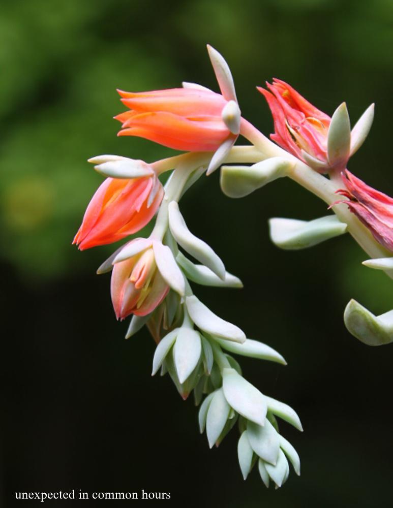 Flowering succulent #2