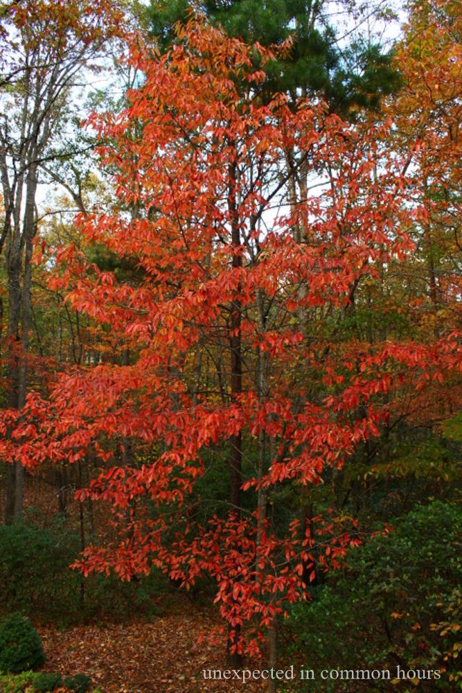 Sourwood tree in Autumn
