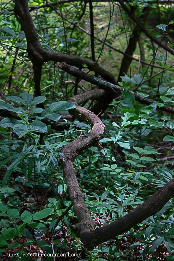 Woodland vine