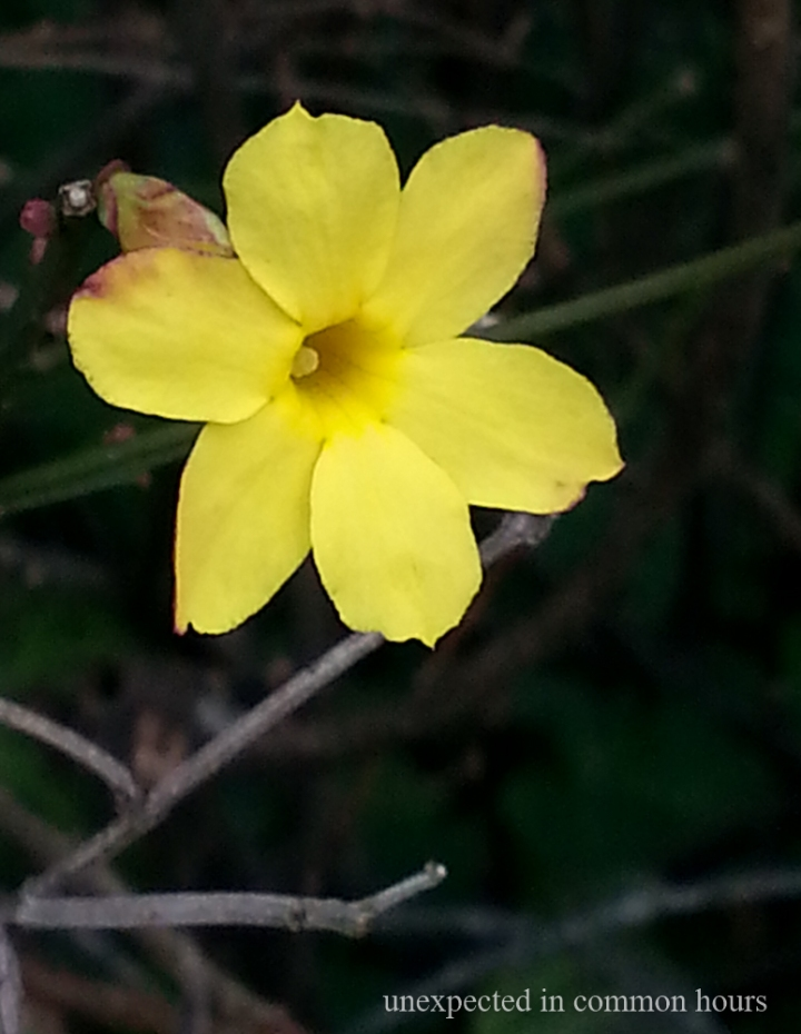 Winter Jasmine in December #2