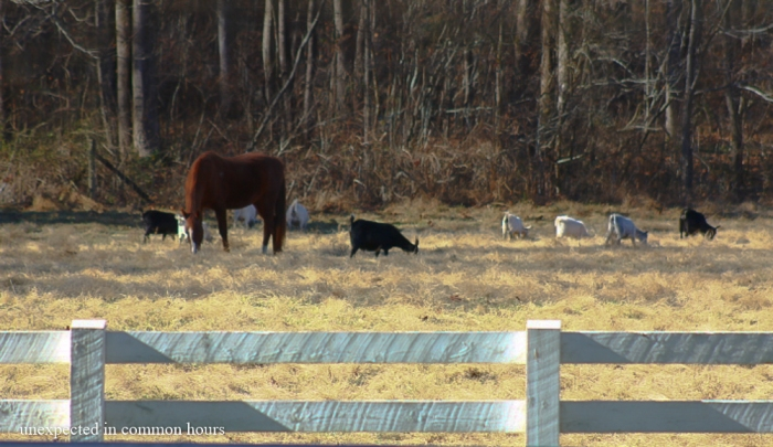 Horses and goats in Kellum Valley