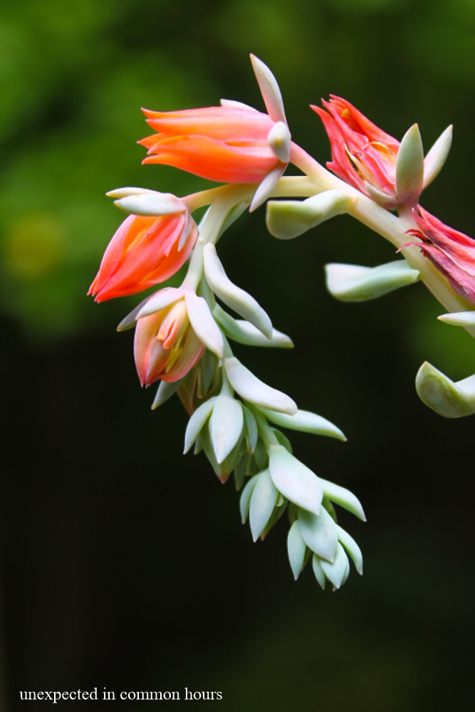 Flowering succulent 2