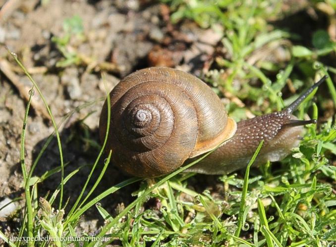 Garden snail #2