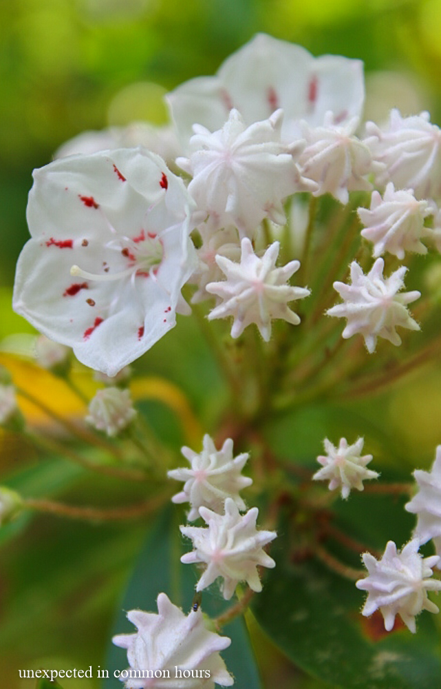 Mountain laurel 3