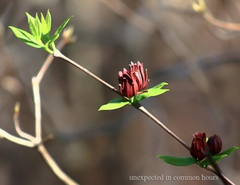 sweet shrub 2