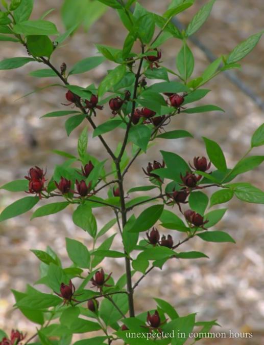 sweet shrub 5