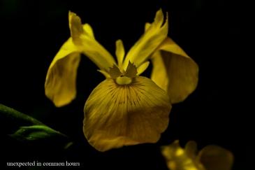 Yellow iris 4