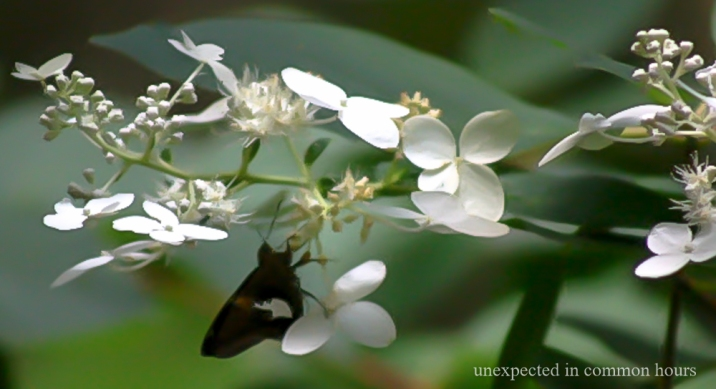 Butterfly on Oakleaf Hydrangea